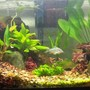 15 gallons planted tank (mostly live plants and fish) - 10 gallon standard Flora includes Java Fern, Amazon Sword, Red Tiger Lotus, Staurogyne Repens, Green Temple, and an Anubias Frazeri. Fauna includes 2 Dwarf Indian Puffers, 2 Ottos, 1 Emerald Cory Cat, and 2 Kuhli Loaches.