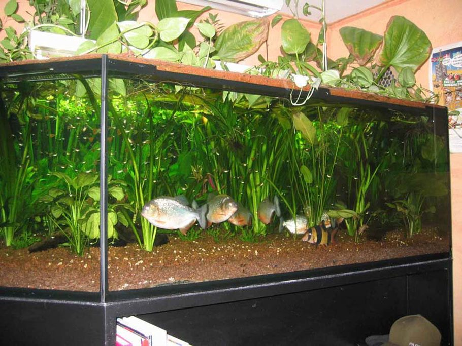 Description A 400 Gallons 1500 L 200130cm Tank With 10 Piranhas And Other Fish Enjoy My Website Saegesalmlerde